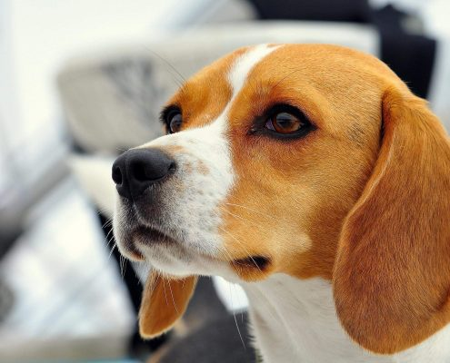 Beagle Resimleri