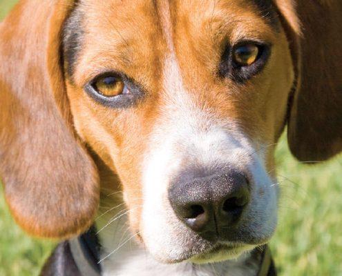 Beagle Fotoğrafları