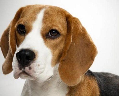Beagle Köpekleri