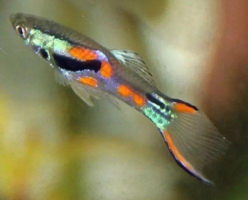 Endler Balığı