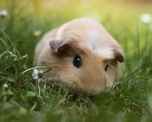 Gine pig Resimleri