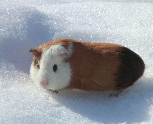 Guinea Pig Resimleri