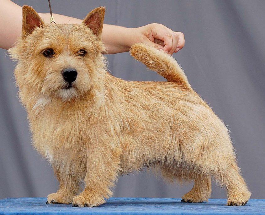 Norfolk Terrier Fotoğrafları