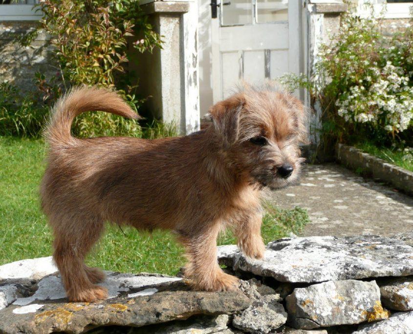 Norfolk Terrier Resimleri