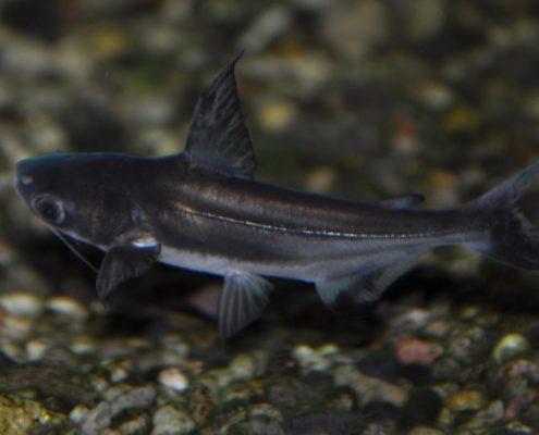 Pengasus (Köpek balığı)