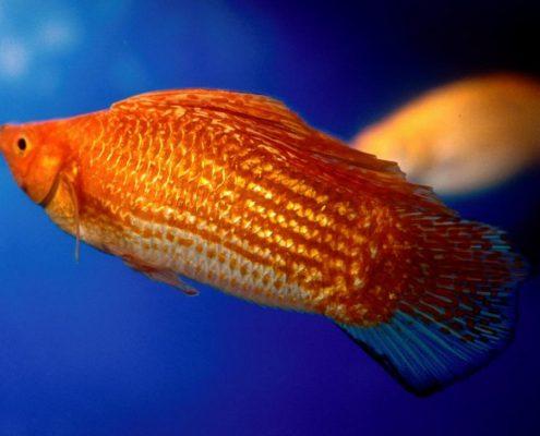 Valifera Balığı