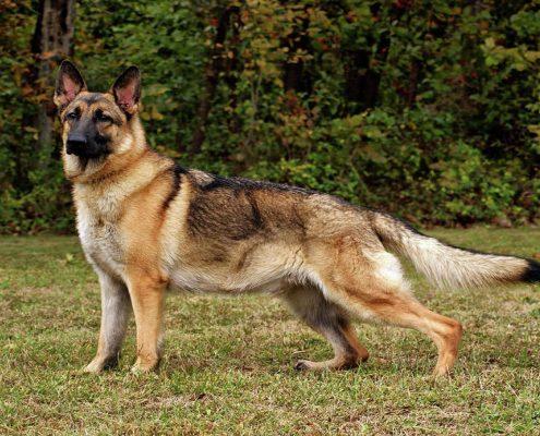 Alman Çoban Köpeği Fotoğrafları