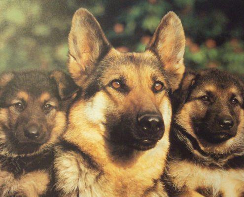 Alman Çoban Köpeği Resimleri