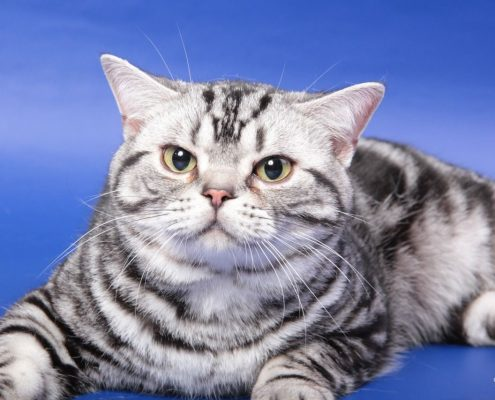 American Shorthair Wallpaper