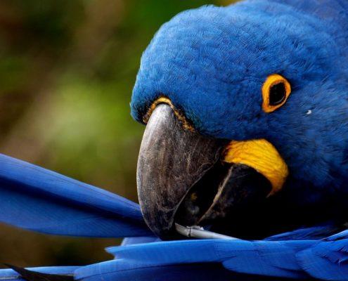 Ara Papağanları