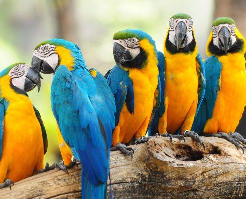 Macaw Papağanları