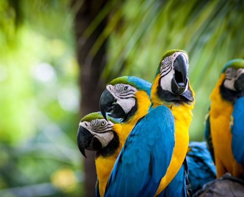 Macaw Papağanı