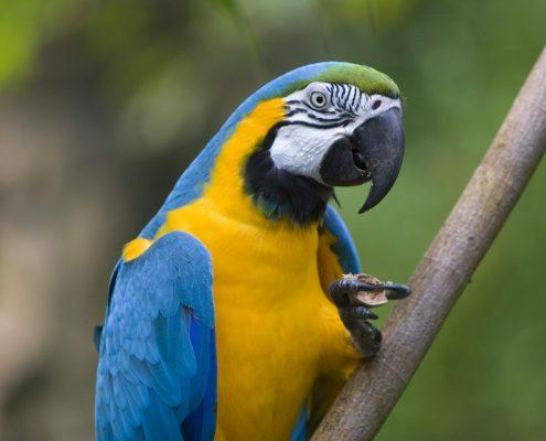 Ara Papağanı Resimleri