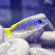 Aysmen - Iceman Balığı