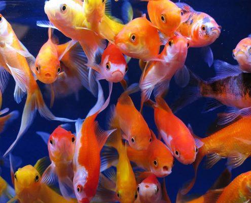 Balık Yaşı Hesaplama