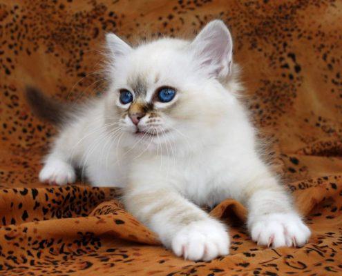 Yavru Birman Kedileri