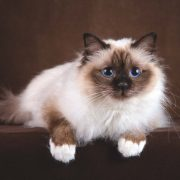 Birman Kedisi Wallpaper
