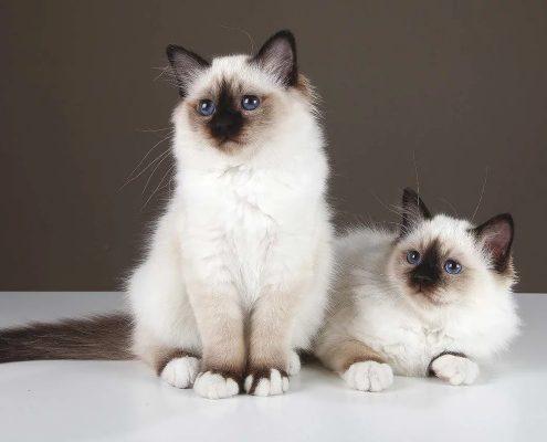Birman Kedileri