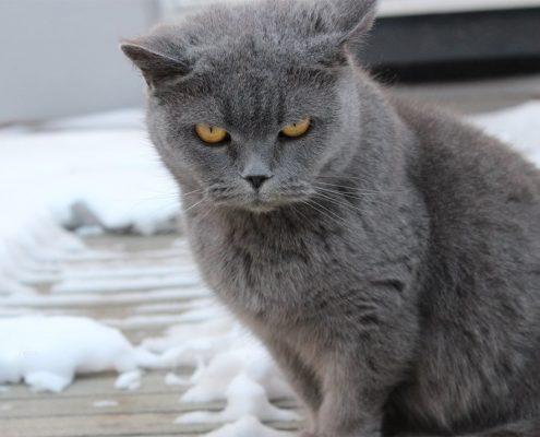 Chartreux Kedisi Resimleri