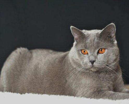 Chartreux Kedisi Fotoğrafları