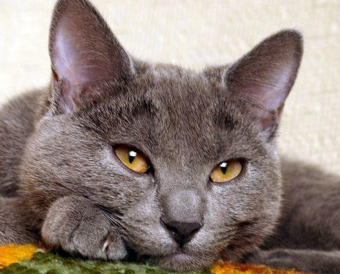 Chartreux Kedisi Bakımı
