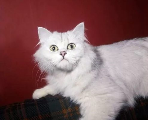 Chinchilla Kedisi Resimleri