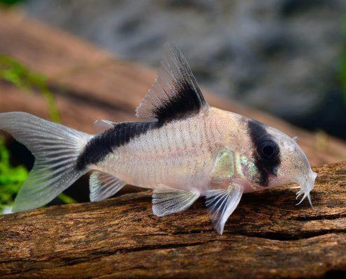 Çöpçü Balığı Resimleri