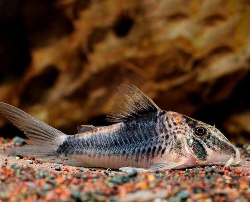 Çöpçü Balığı Fotoğrafları