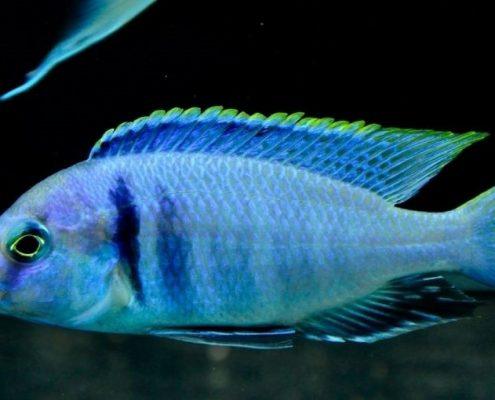 Elektra Balığı