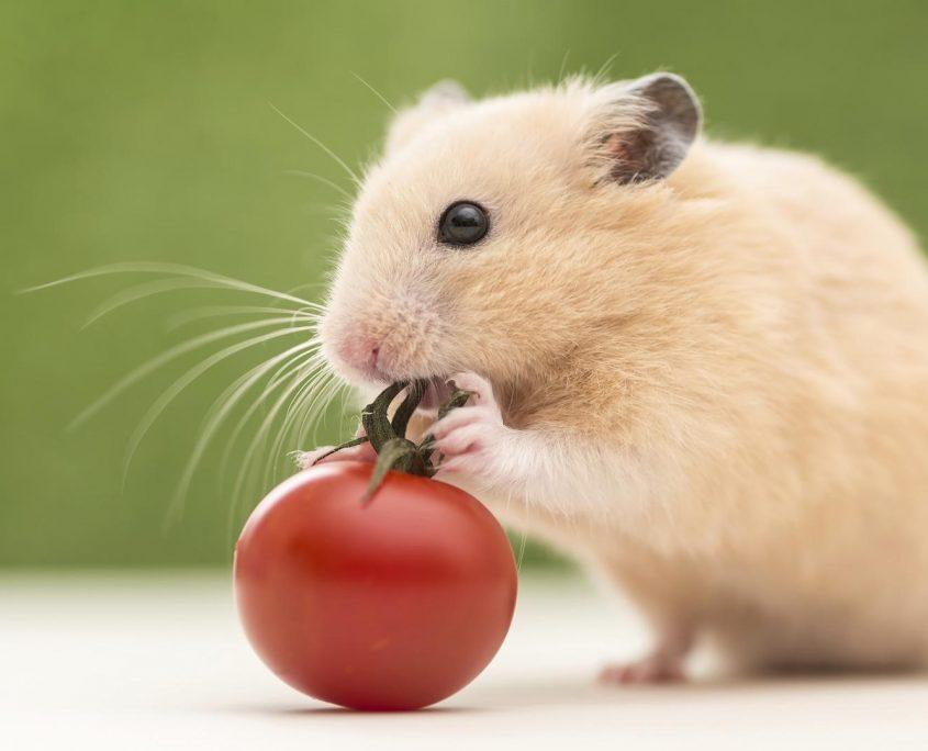 Hamster Resimleri