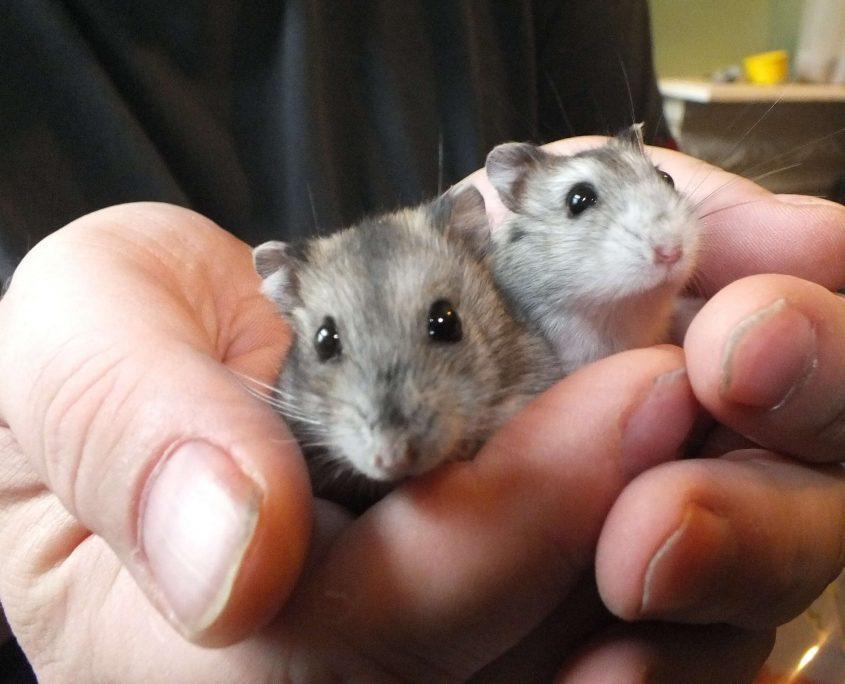 Roborovski Hamster Resimleri