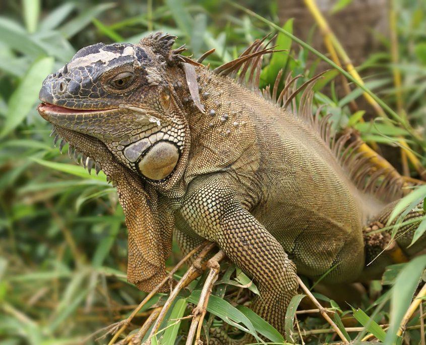 İguana Resimleri