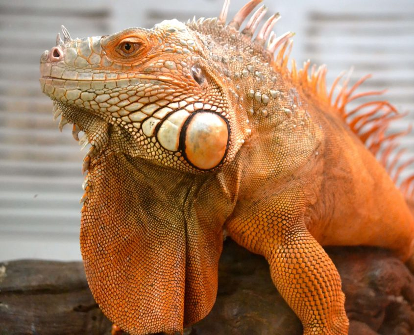Turuncu İguana