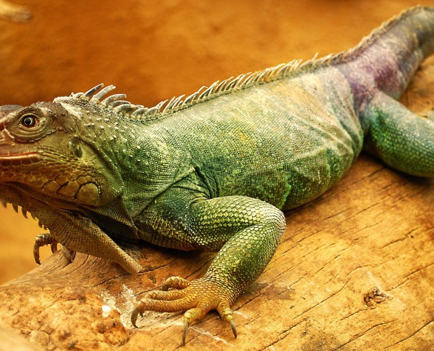 Yeşil İguana