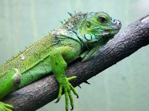 İguana Fotoğrafları