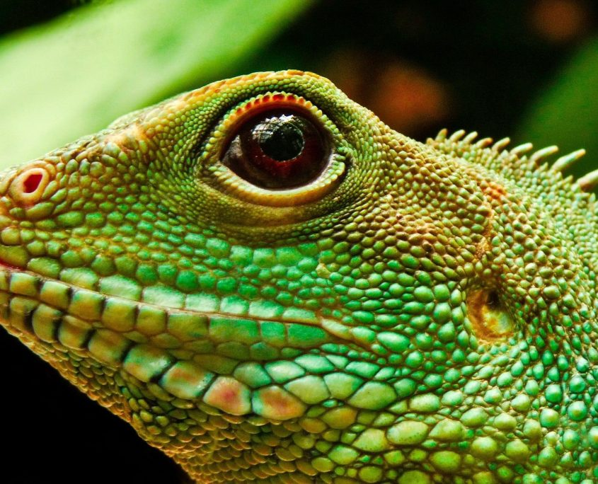 İguana Galerisi