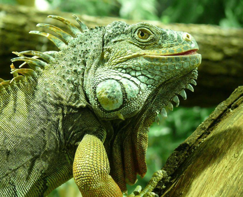 İguana Foto