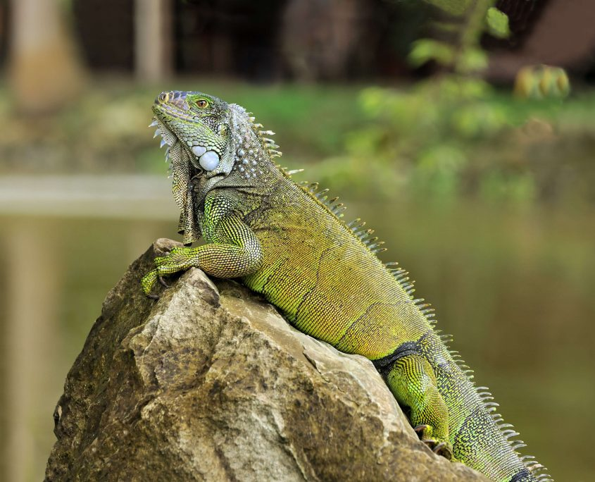 İguana