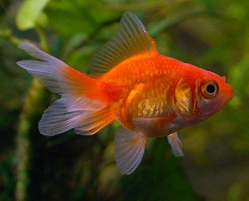 Japon Balığı