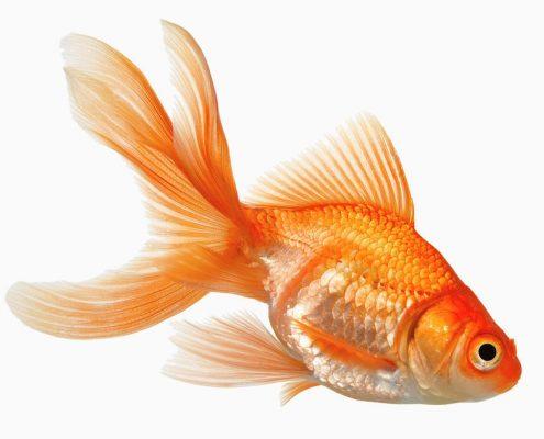 Japon Balığı Resimleri
