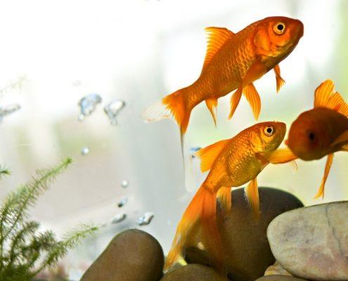 Japon Balığı Wallpaper