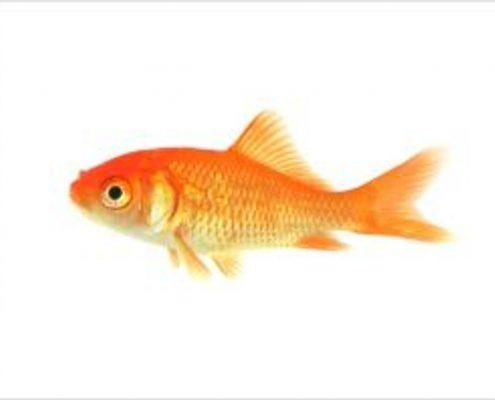 Japon Balığı Galerisi