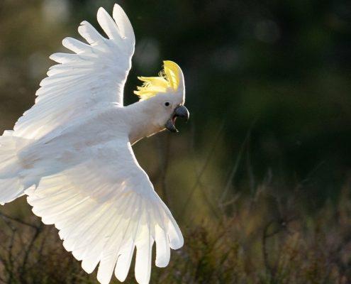 Kakadu Papağanı Resimleri
