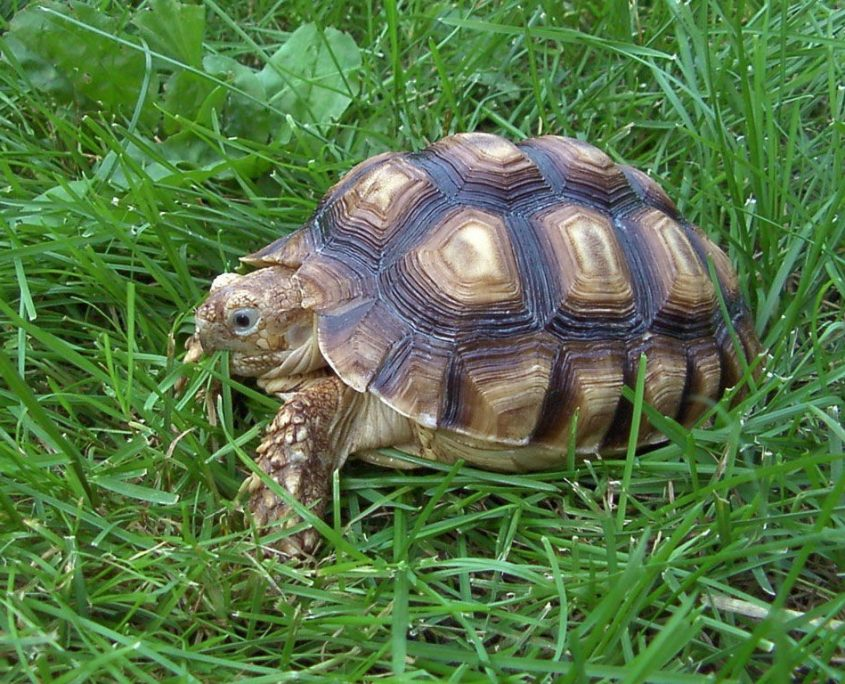 Kara Kaplumbağası Fotoğrafları