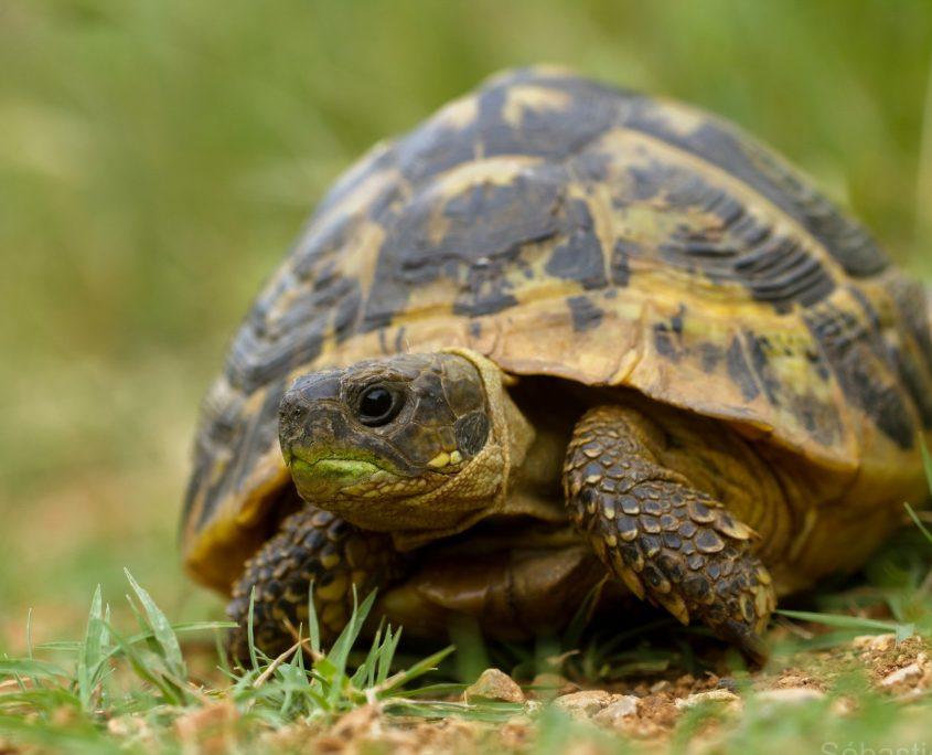 Kara Kaplumbağası Resimleri