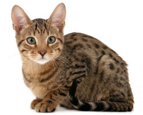 Kedi Maması Seçimi Nasıl Yapılmalıdır?