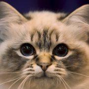 Kediler Nasıl Tanıştırılır?
