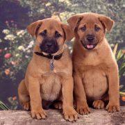 Köpeklerde Cinsiyet Ayrımı