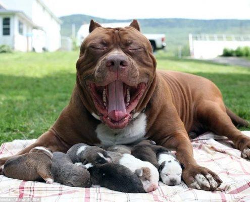 Köpeklerde Hamilelik ve Doğum Süreci