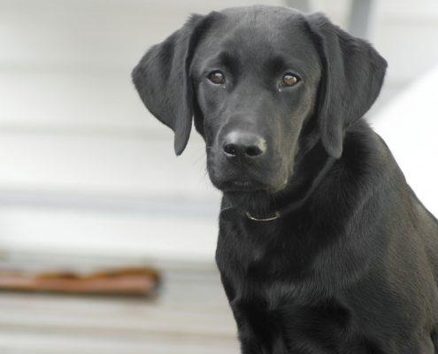Labrador Retriever Resimleri